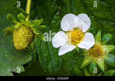 Garden strawberries (Fragaria × ananassa) in different stadia from strawberry flower to unripe fruit in spring