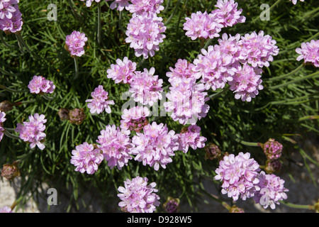 Sea pinks or thrift growing in a crvice on the rocky coast at the sea pink thrift armeria maratima sea pinks coastal flowers growing wild in uk mightylinksfo Image collections