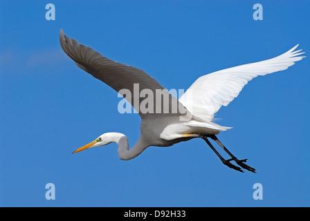 Great Egret, Ardea alba, Flying - Stock Photo