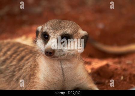 Meerkat or suricate, (Suricata suricatta), Tiras Mountains, Southern Namibia, Africa - Stock Photo