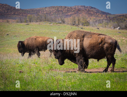 Roaming bison in Wichita Mountains Wildlife Refuge, Oklahoma - Stock Photo