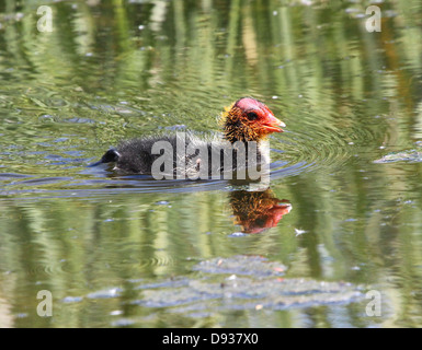 Baby  Eurasian Coots (Fulica atra) swimming - Stock Photo