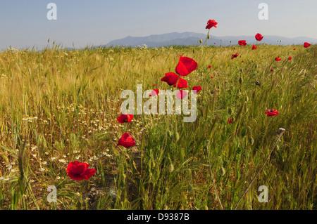 Corn poppies, Papaver rhoeas, Landscape, Thrace, Greece - Stock Photo