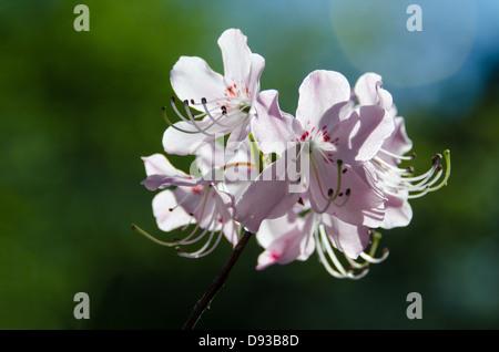 A pale pink Royal Azalea (Rhododendron schlippenbachii) against a dark green background. - Stock Photo