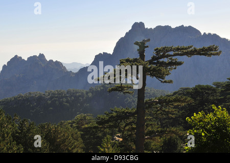 Corsican Pine, Pinus nigra laricio, Col de Bavella, Alta Rocca Region, Corse-du-Sud, Corsica, France - Stock Photo