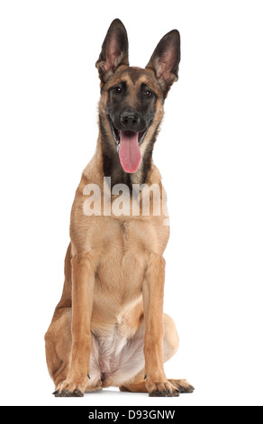 Belgian Shepherd, 5 months old, portrait against white background - Stock Photo