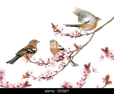 Group of Common Chaffinch, Fringilla coelebs, perched on Japanese Cherry branch against white background - Stock Photo