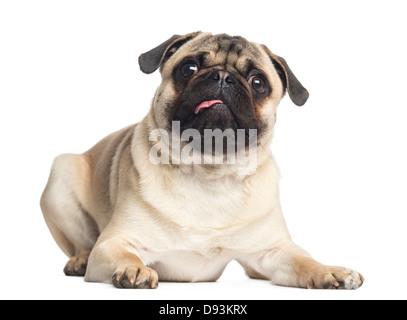 Pug, 1 year old, portrait lying against white background - Stock Photo