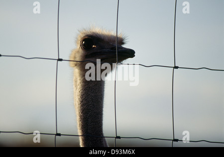Ostrich face through fence, close-up - Stock Photo