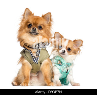Two dressed up Chihuahuas, 10 months and 2 years old, sitting next to each other against white background - Stock Photo