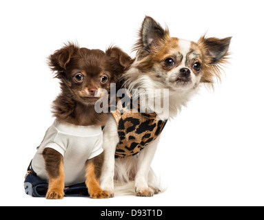 Dressed up Chihuahua puppies, 3 and 9 months old, sitting against white background - Stock Photo