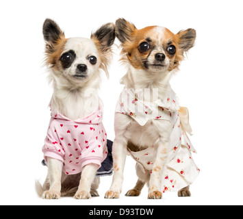 Two dressed-up Chihuahuas, 9 months old, sitting next to each other against white background - Stock Photo