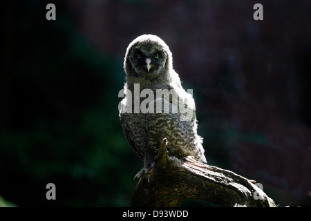Close-up of great grey owl - Stock Photo