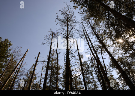 Mature Corsican Pine trees dying due to infection with Dothistroma Needle Blight or Red Band Needle Blight, Wales, - Stock Photo
