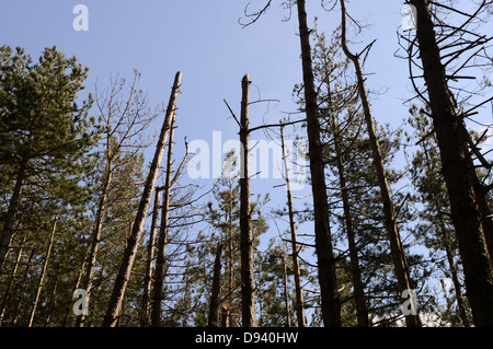 Mature Corsican Pine trees dying due to infection with Dothistroma Needle Blight or Red Band Needle Blight, ales, - Stock Photo