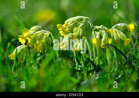 A stand of wild cowslips - Stock Photo