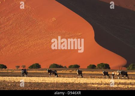 Gemsbok (oryx), and sand dunes, Namib-Naukluft National Park, Namibia, Africa - Stock Photo