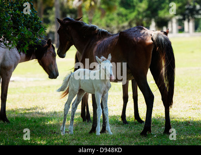 Foal with its mother, Cumberland Island, Georgia. - Stock Photo