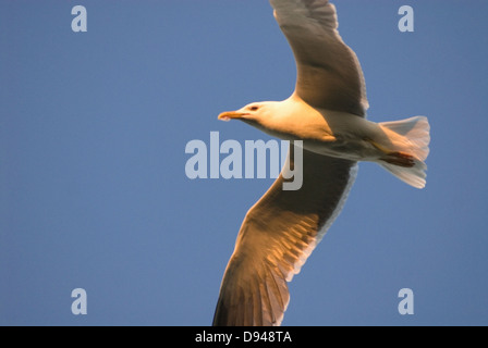 Flying Lesser black-backed gull, Norway. - Stock Photo