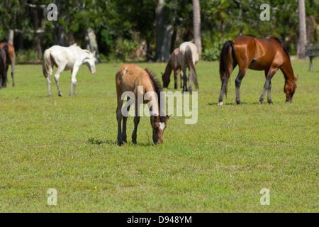 Wild horses, Cumberland Island, Georgia. - Stock Photo