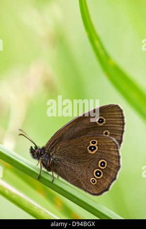 Ringlet butterfly on blade of grass - Stock Photo