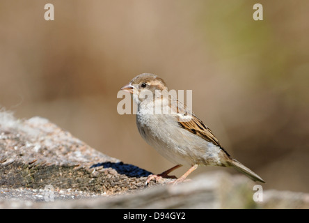 House Sparrow - Passer domesticus Female on log - Stock Photo