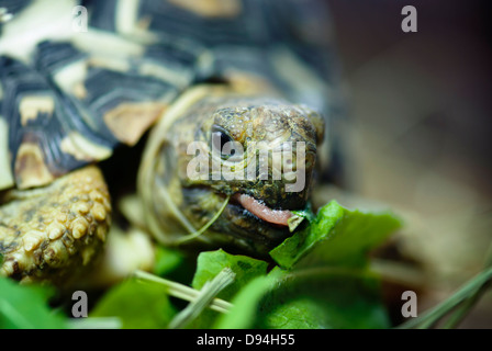 Mountain or leopard tortoise (Geochelone pardalis) eating the green leaf. - Stock Photo