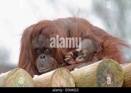Bornean Orang utan Pongo pygmaeus pygmaeus  mother and young in zoo. - Stock Photo