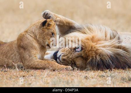Male lion (Panthera leo) with cub, Maasai Mara National Reserve, Kenya - Stock Photo