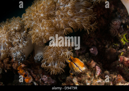 White-eyed Moray eel (Siderea thyrsoidea) hides amongst feeding coral polyps - Lembeh Straits, North Sulawesi, Indonesia - Stock Photo