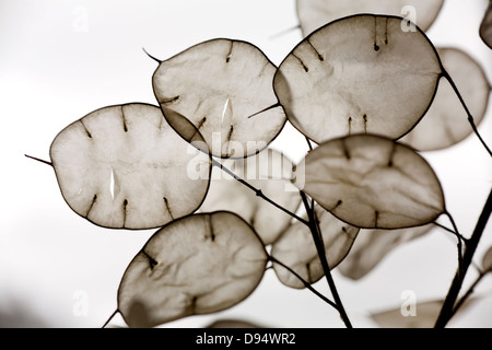 Annual Honesty (Lunaria annua) seed pods - Stock Photo