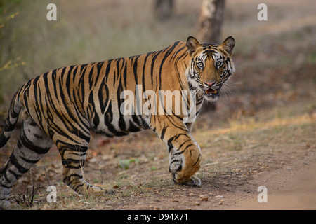 Two-year-old male Bengal Tiger, a cub of the Banbehi female, crossing a vehicle track in Bandhavgarh Tiger Reserve, - Stock Photo