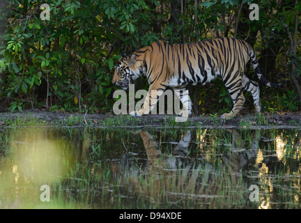 Two-year-old male Bengal Tiger walking on the edge of the Kinar Wah waterhole in Bandhavgarh Tiger Reserve, India - Stock Photo