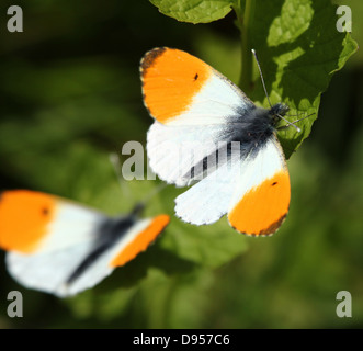 Detailed close-up of two  male Orange Tip Butterflies (Anthocharis cardamines) - Stock Photo