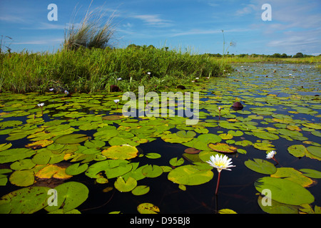 Water lilies, Okavango Delta, Botswana, Africa - Stock Photo