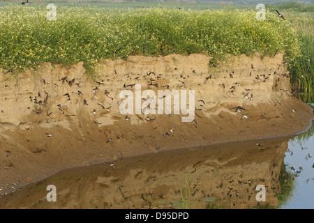 Bank swallow, Sand Martin, Riparia riparia, Uferschwalbe - Stock Photo