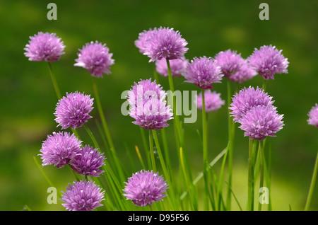 Flowers of Chives. Allium schoenoprasum - Stock Photo