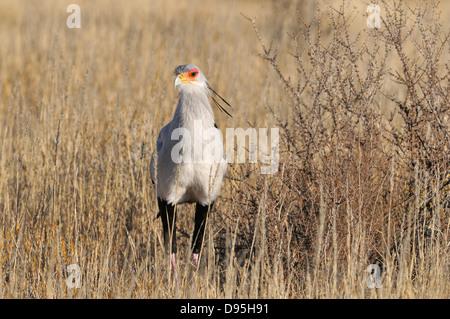 Secretary Bird Sagittarius serpentarius Photographed in Kgalagadi National Park, South Africa - Stock Photo