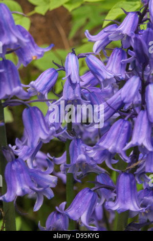 Bluebell frenzy - Stock Photo