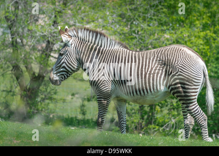 A profile portrait of a young Grevy's Zebra. It has large areas and narrow vertical stripes. - Stock Photo