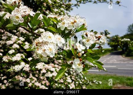 Hawthorn blossom  in hedgerow Crategus monogyna - Stock Photo