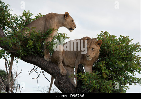 Lions in tree surveying game reserve. South Africa. - Stock Photo