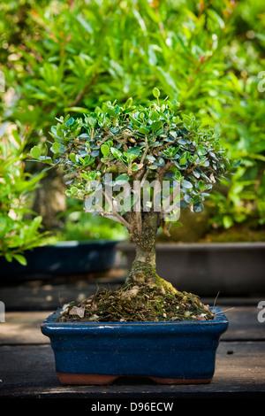 Italy milan alberto bergamini bonsai nurseryman stock for Bonsai italia
