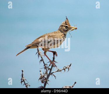 CRESTED LARK (Galerida cristata) in North Cyprus. Photo Tony Gale - Stock Photo