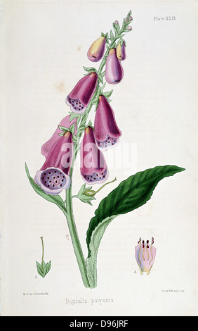 Foxglove (Digitalis purpurea) source of Digitalis. Used from Medieval times as emetic and purgative. After Withering - Stock Photo