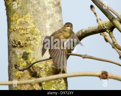 Detailed close-up of a confident Willow Warbler (Phylloscopus trochilus) taking off into flight - Stock Photo