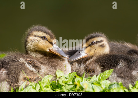 Germany, Bavaria, Two mallard ducklings sitting in plants, close up - Stock Photo