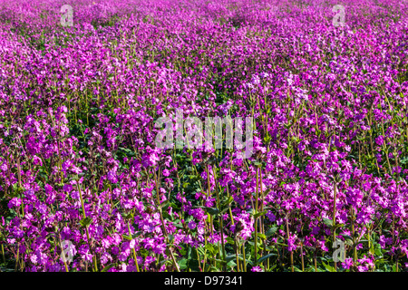 Close-up of a field of Red Campion (Silene dioica) in the Cotswolds. - Stock Photo