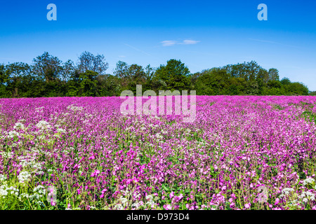 A field of Red Campion (Silene dioica) in the Cotswolds. - Stock Photo