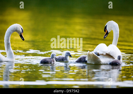 A pair of Mute Swans with newly hatched cygnets. - Stock Photo